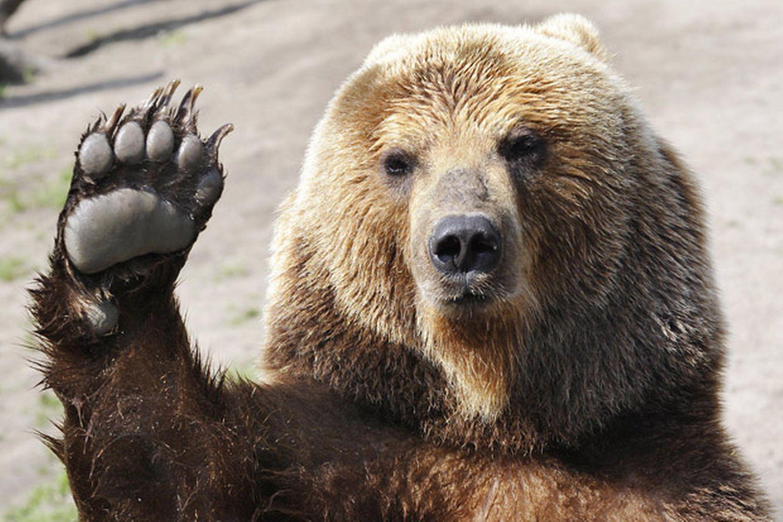 Тръгна петиция в защита на мечката, нападнала жена