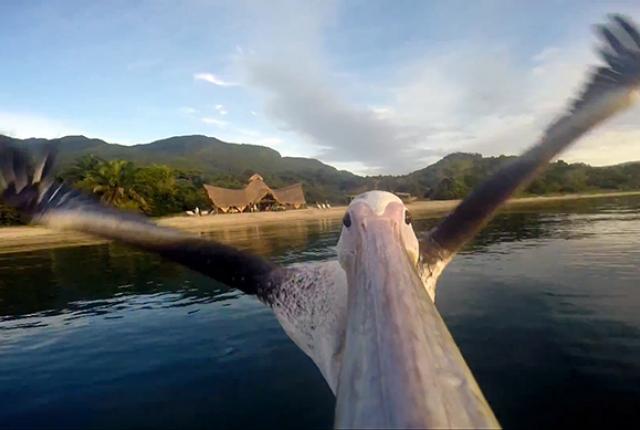 Пеликан се учи да лети: Видео от чофката му