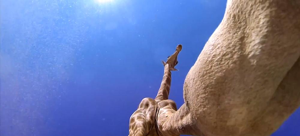 Внимавай! Този жираф не гледа къде ходи (ВИДЕО)