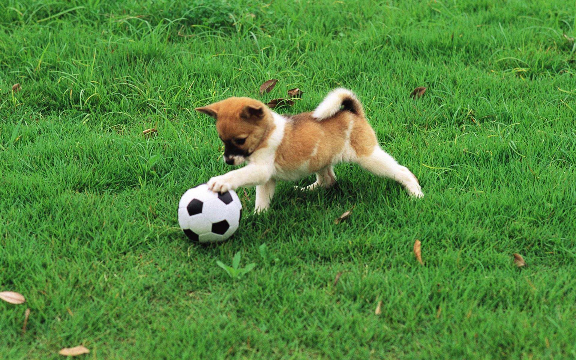 pretty-dog-playing-with-football
