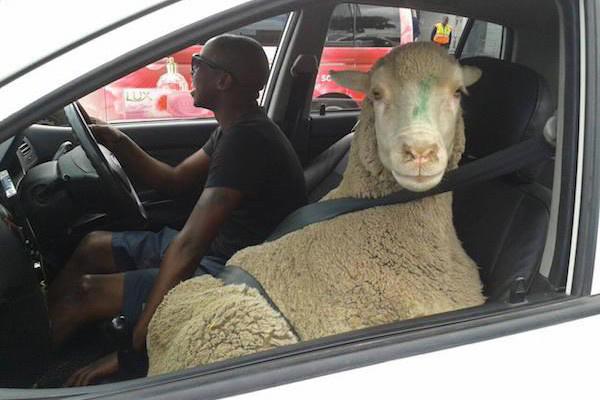 Овца, предница на самолет, батут и още. Виж кой какво вози (СНИМКИ)