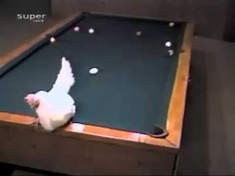 Кокошката на Рони О'Съливан (ВИДЕО)