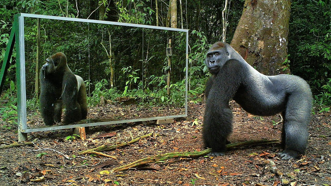 Eксперимент в джунглата: животни намират огледало (ВИДЕО)