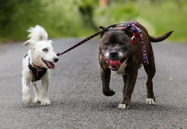 Слепият Джак Ръсел териер, който си има друго куче водач