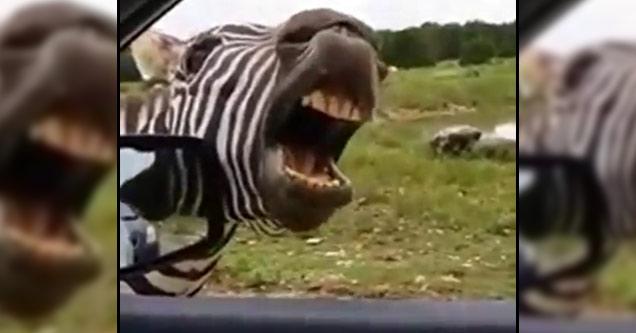 Зебрата, която пее по-добре от Джорджано (ВИДЕО)