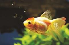 Желанията, които златната рибка не може да изпълни
