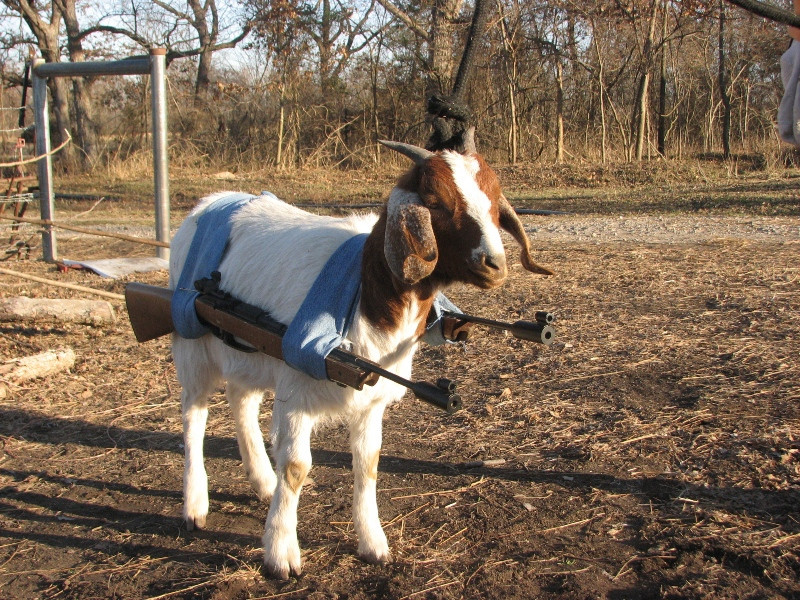 funny-goats-pictures-15