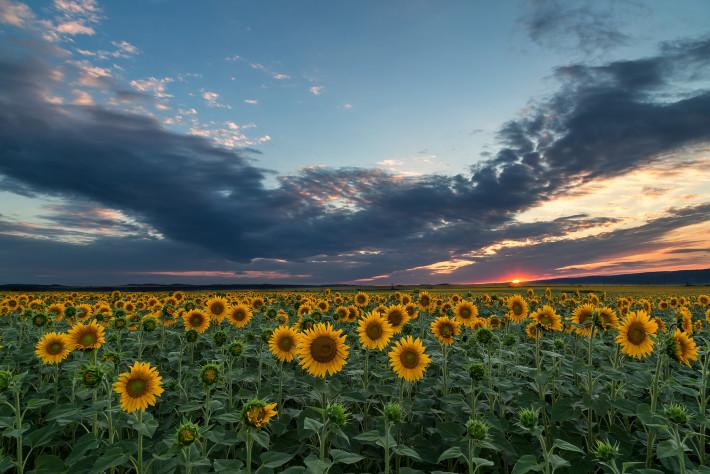 Слънчогледи, Снимка: Niki Spasov