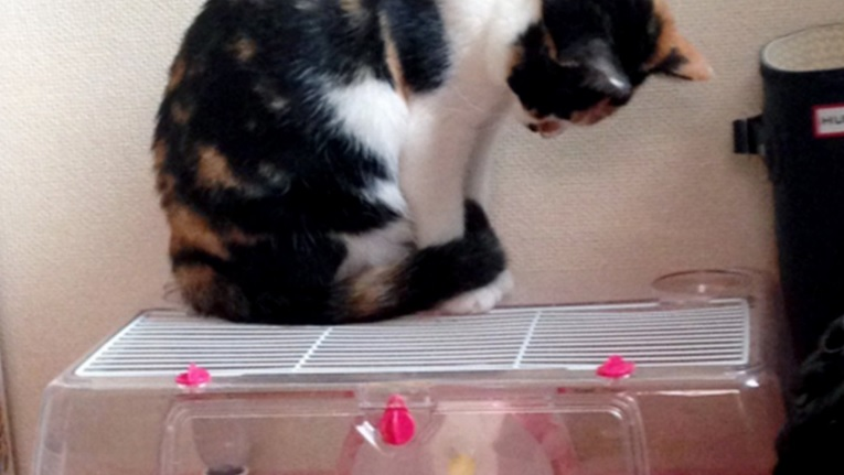 Котка се вдъхнови  за тренировки  от хамстер