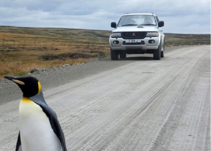 Изгубен пингвин чака на стоп, за да намери приятелите си