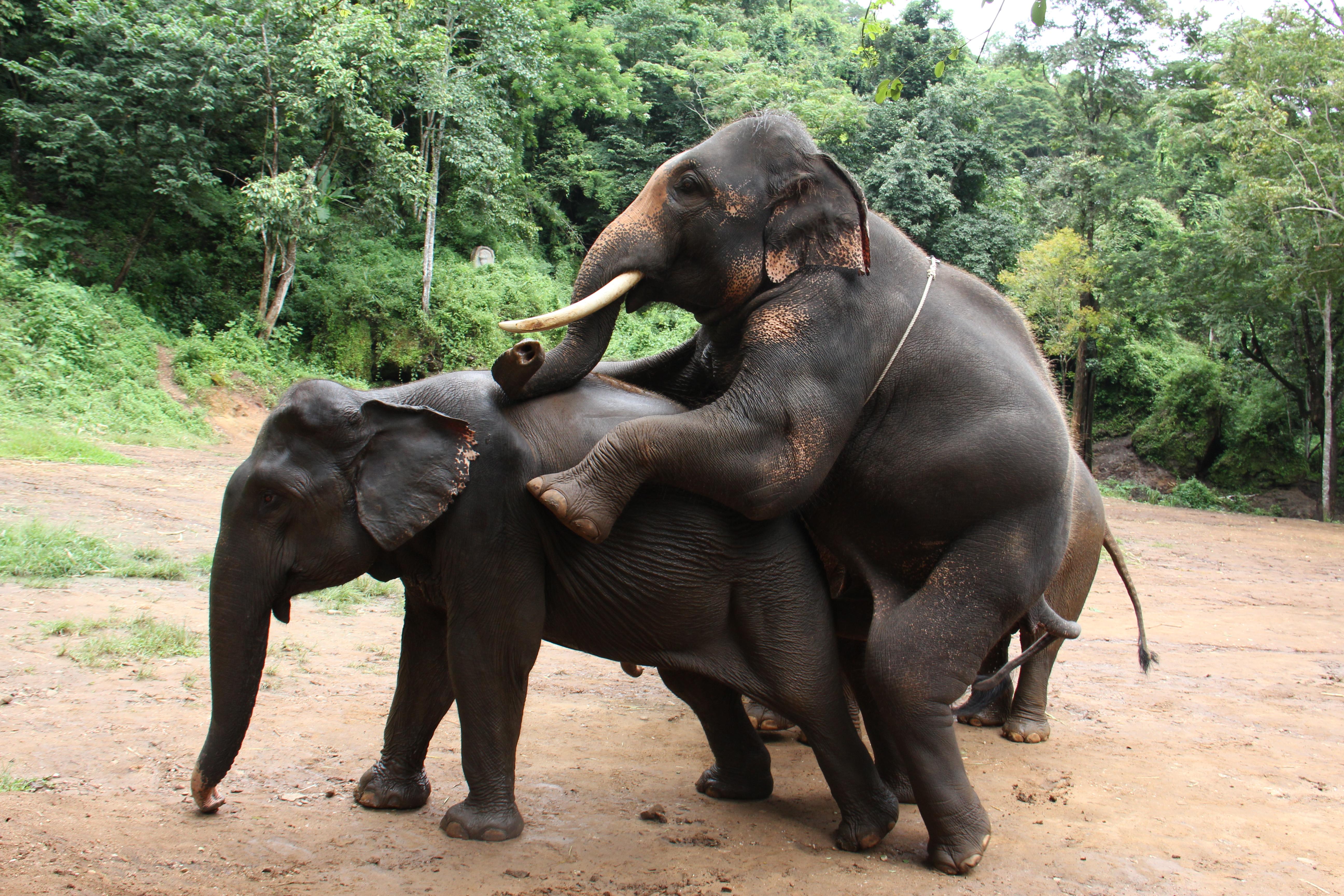 Започва производството на хартия от слонски гованца