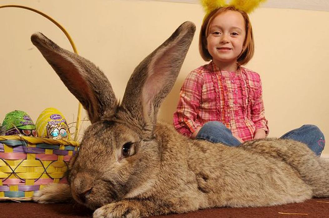 Най-дългият заек в света  е голям колкото  седемгодишно дете