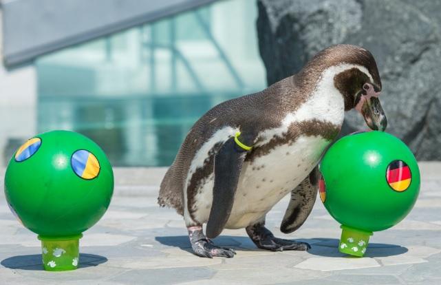 Пингвин, коала и петел са оракулите на Евро 2016