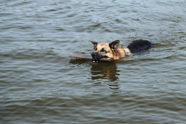 Куче преплува 10 км и вървя още 20, за да се върне при стопаните си