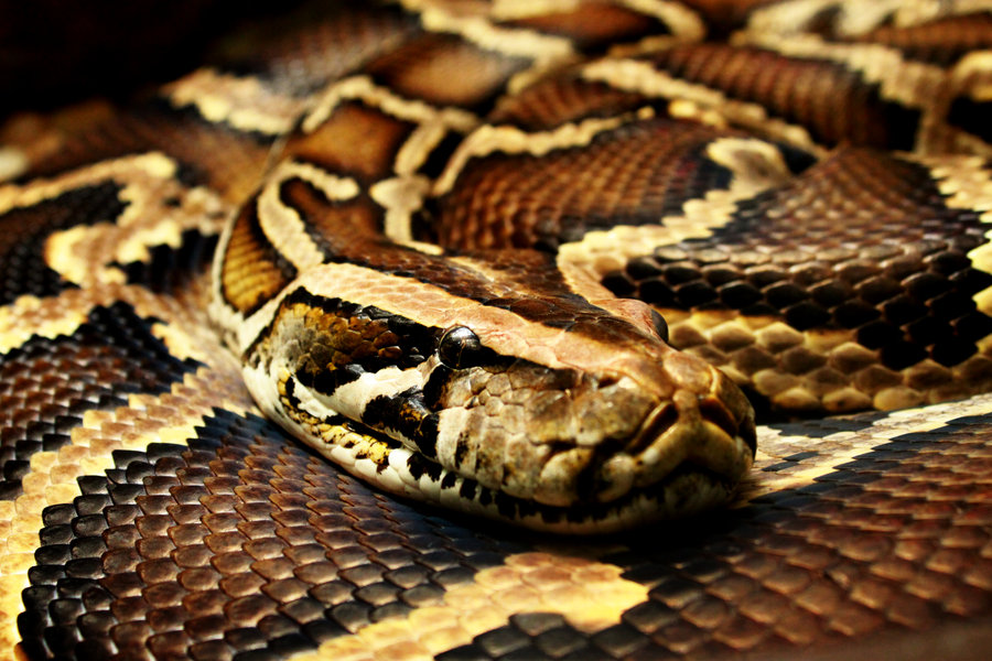 Ибаси змията, ибаси мамата – Хванаха питон, изял три елена