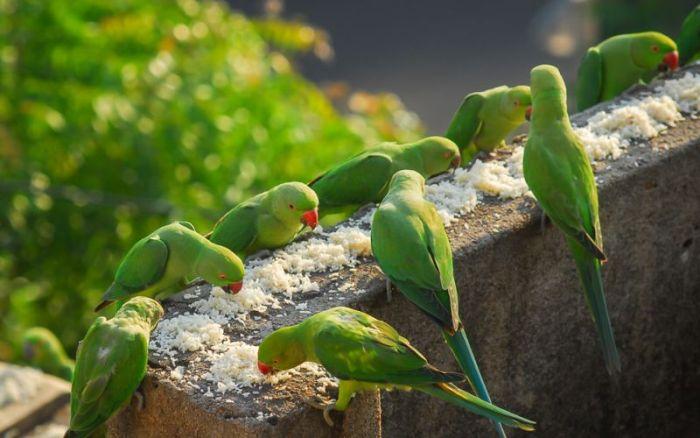 Наркозависими папагали атакуват плантации с опиум в Индия