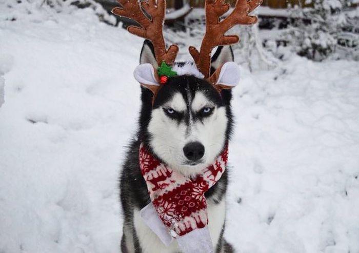 Хъскито, което не харесва Коледа (СНИМКИ)
