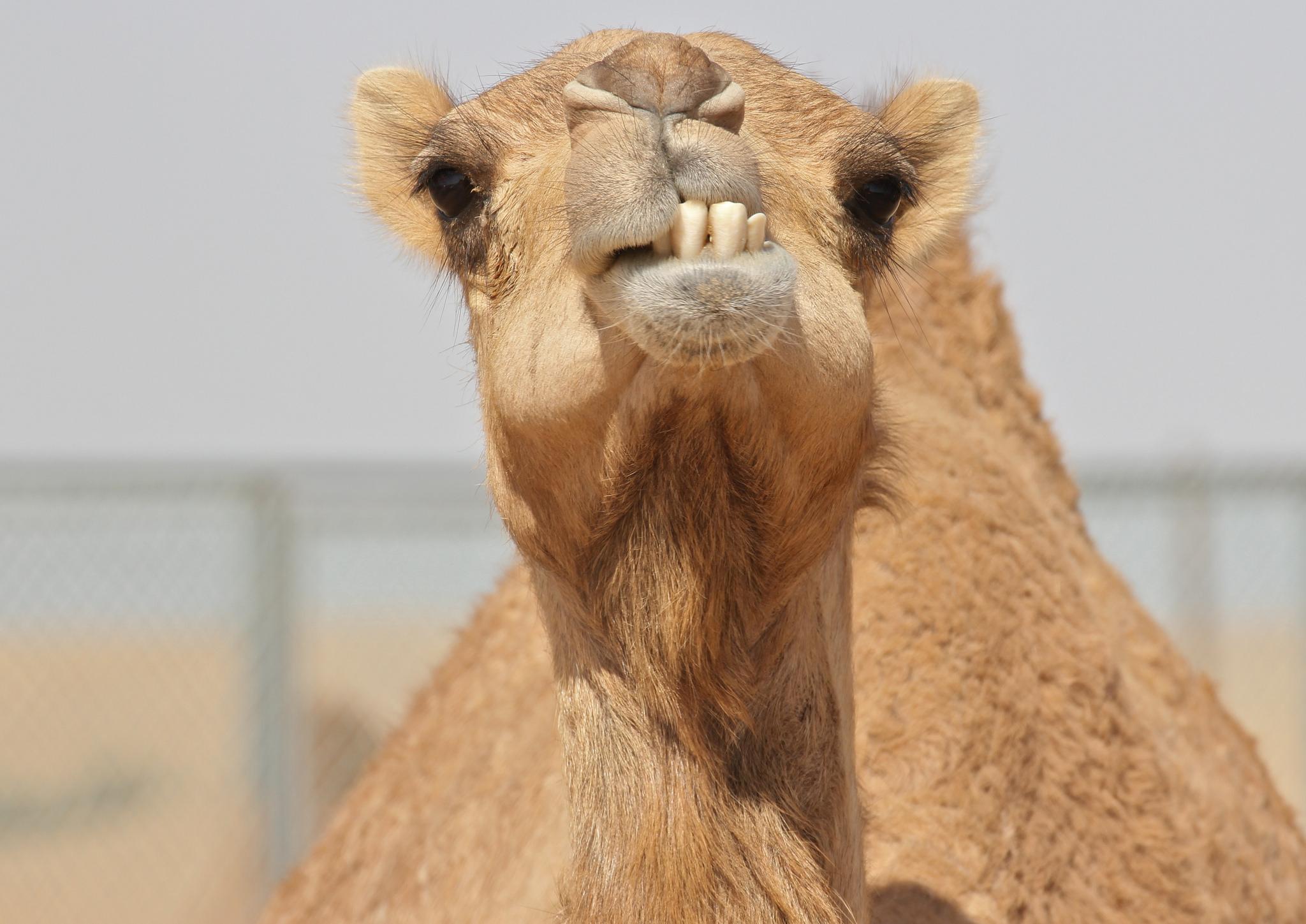 Дисквалифицираха камили от конкурс за красота, били с ботокс