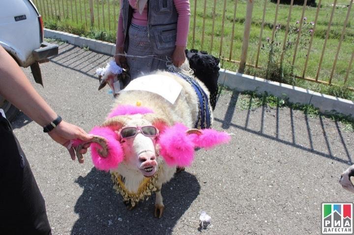 Най-красивата коза