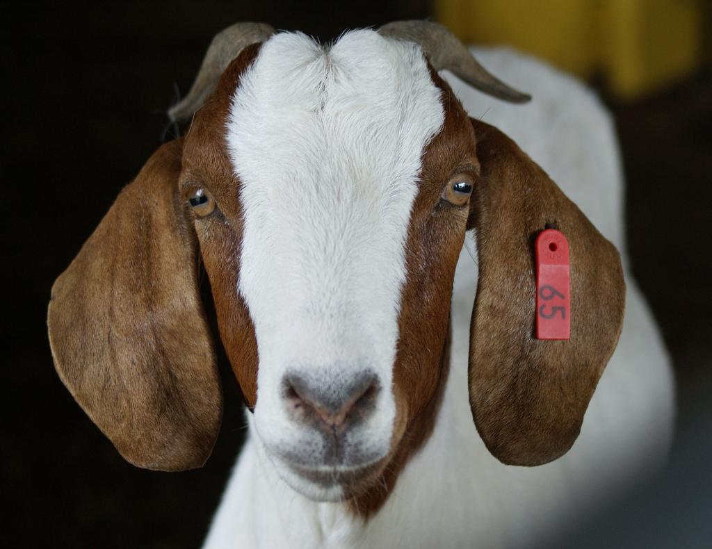 Осем мъже изнасилиха бременна коза, тя почина