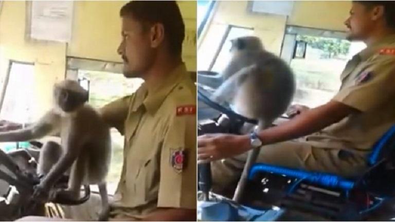 Уволниха шофьор, дал на маймуна да кара автобус (ВИДЕО)