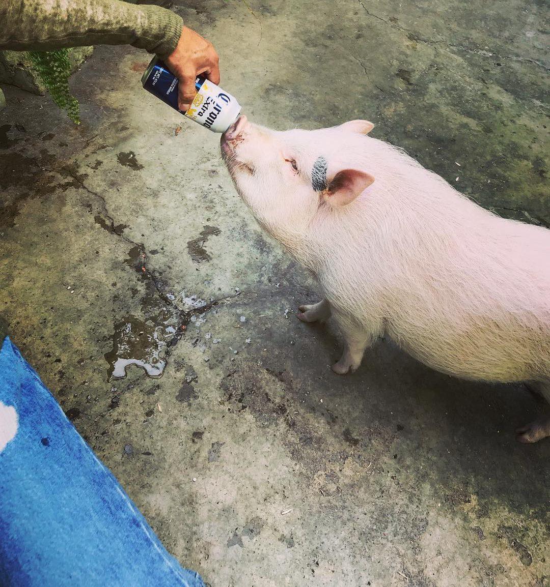 Петък е: Свиня открадна каса бира, напи се и се сби с крава