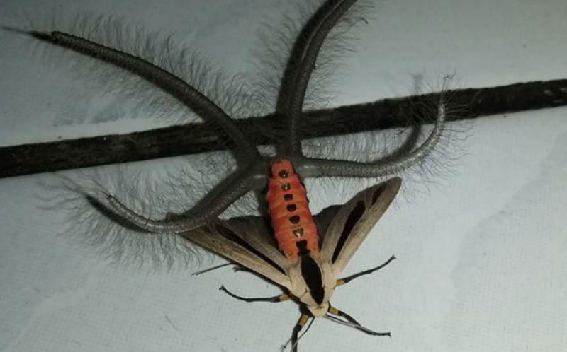 Създание с тяло на молец, но с пипала се пръкна в Индонезия