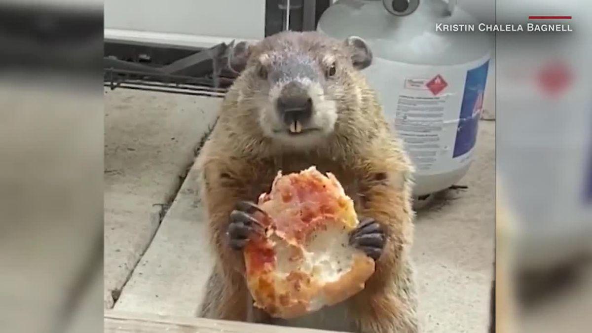 Мармот яде пица пред погледа на куче (ВИДЕО)