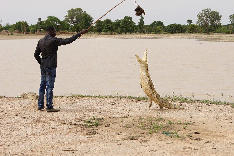 Мъж избяга от карантината и го изяде крокодил