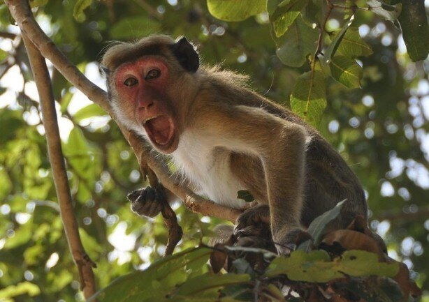 Маймуни в Индия гепиха кръвни проби на болни от коронавирус