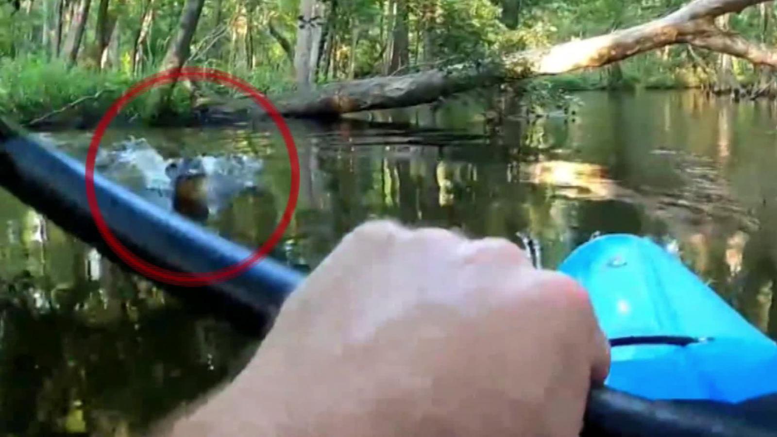 Неприятно: Алигатор напада и обръща каяк (ВИДЕО)