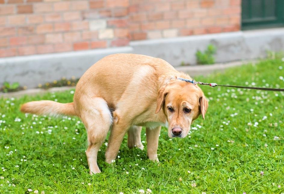 Хванаха айдуци по кучешки акита
