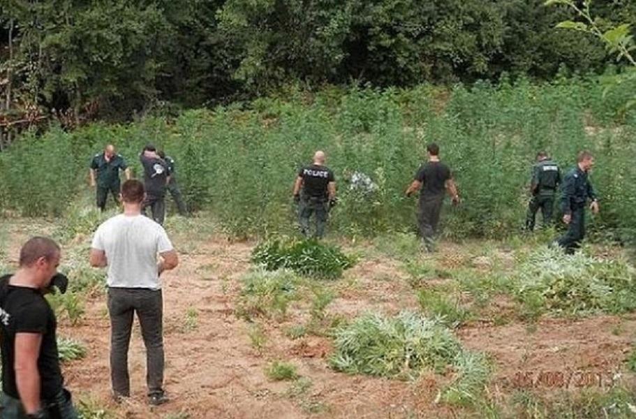 Скрита камера снима граничари да берат марихуана