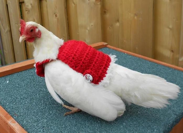 Нов хит – коледни пуловерчета за кокошки