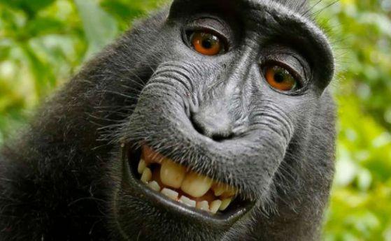 Маймуна нахлу в магазин за алкохол и се отряза на талпа