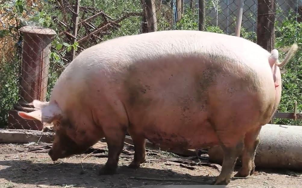 Прасе открадна и изпи 18 кенчета бира, после се сби с крава
