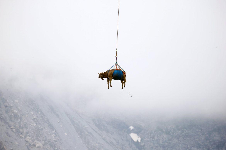 В Швейцария спасяват контузена крава с хеликоптер (ВИДЕО)